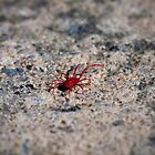 Red Spider Mite by Melanie Simmonds