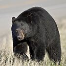 Black Bear by Alex Preiss