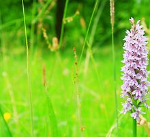 Common Spotted Orchid by Dave Godden