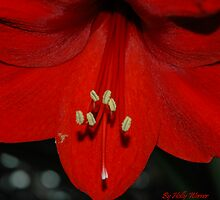 Amaryllis by Holly Werner