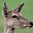 Red Deer Doe by SWEEPER