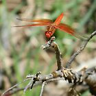 Red skimmer dragonfly by Joni  Rae