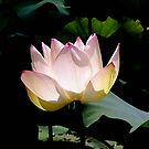 Lotus in the sun by Jason Dymock