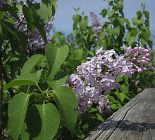 Lilac and Fence by marybedy
