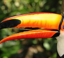 Portrait of a Toco Toucan at Iguassu, Brazil  by Carole-Anne