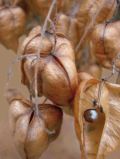 Seed Pods by Peter Stratton