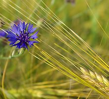 Cornflower in a barley field by loewenherz