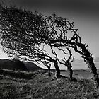 Windblown trees by Ian Parry