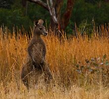 Three Roos Standing Guard by Steve Bass