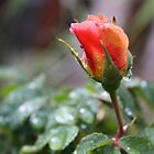 RAIN DROP'S ON PEACH ROSE  by Marie Brown ©