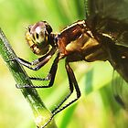 dragonfly up-close by SusieG