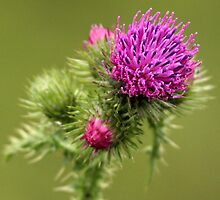 Purple Prickle the Beautiful Thistle. by Mark Hughes