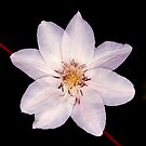 White Clematis Flower on Black by Steve