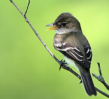 Alder On Green / Alder Flycatcher by Gary Fairhead