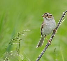 Clay-colored Sparrow in grassy habitat. by Daniel Cadieux