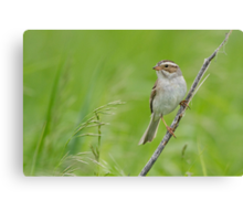 Clay-colored Sparrow in grassy habitat. Canvas Print