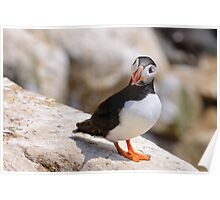 Puffin (fratercula artica), Saltee Islands, County Wexford, Ireland Poster