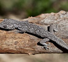 Spiny Tailed Gecko by Carmel Williams