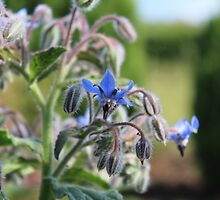 Borage by karina5