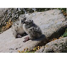 Great Black-backed Gull chicks, Saltee Island, County Wexford, Ireland Photographic Print