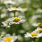 Lovely Daisies by marens