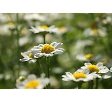Lovely Daisies Photographic Print