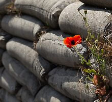 Flanders poppy by Tony Roddam