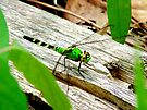 Vibrant Green Dragonfly by Marcia Rubin