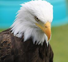 Bald Eagle by Alyce Taylor