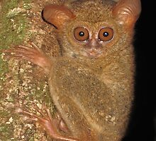 Tarsier waking up - Sulawesi by shellfish