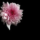Chrysanthemum by Sarah Couzens
