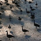 """Canadian Geese On a Frozen Pond, Ey?"" by dfrahm"