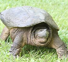 snapping turtle by Larry Baker