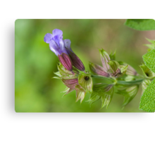 Sage ...Going to Seed (as-is) Canvas Print