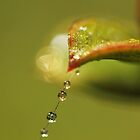 Leafy Tears by Amy Dee