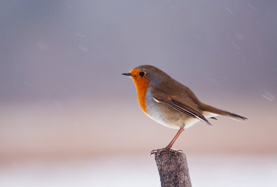 Robin in the Snow by M.S. Photography/Art