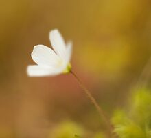 Wood Sorrel by kernuak