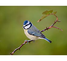 Blue tit on rose branch Photographic Print