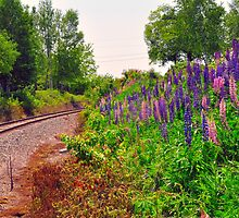 Railroad track, Lupines, Stockton Springs, Maine by fauselr