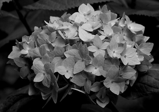 Hydrangea - Black & White by dawnandchris