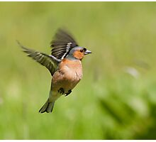 Chaffinch ~ Inflight Photographic Print