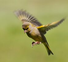 Greenfinch in flight by M.S. Photography/Art