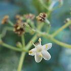 Lone tiny white flower by PhotosbyDrJ