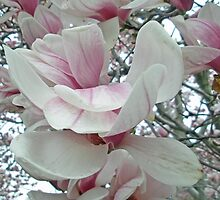 Tulip Tree Blossoms - Liriodendron tulipifera by MotherNature