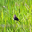Red-winged Blackbird, female by amontanaview