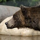 Orphaned Grizzly by Sheri Bawtinheimer