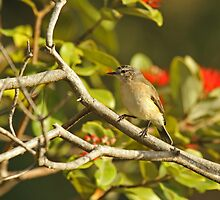 Yellow-Rumped Thornbill by Robert Abraham