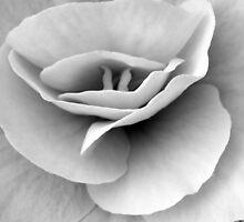 Begonia by Angela Bruno