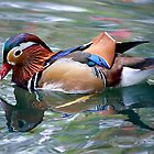 . . .Mandarin drake by outwest photography.co.uk