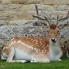 Deer at Burleigh House by James1980